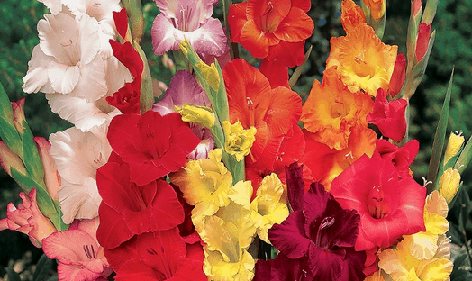 Groupon Gladiolus Flower 30-Bulb Mix
