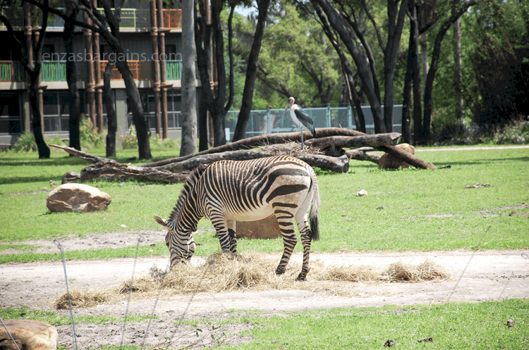 akl-zebra