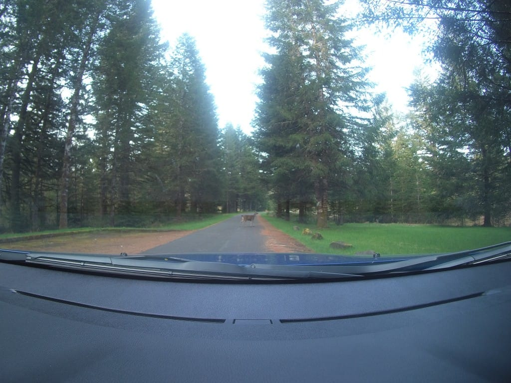 Black Tailed Deer crossing in front of our Mitsubishi Outlander Sport in Silver Falls State Park.