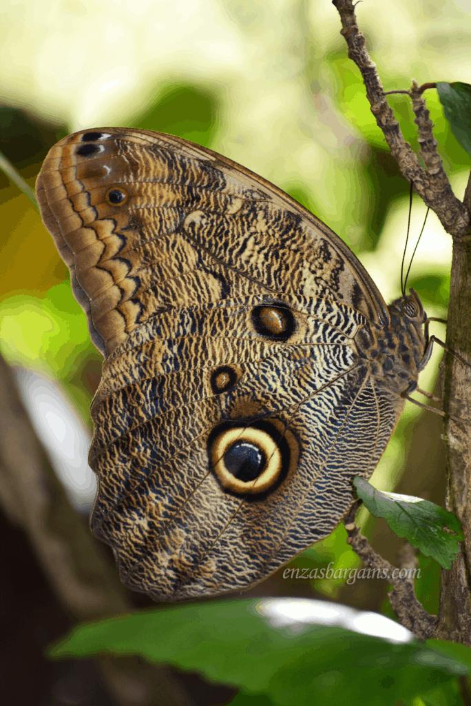 owl-butterfly
