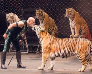 taba-tigers